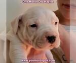 Small #42 Dogo Argentino