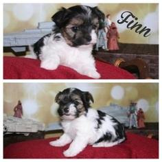 Yorkshire Terrier Puppy For Sale in ALPINE, UT