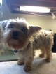 Yorkshire Terrier Puppy For Sale in BAY MINETTE, AL, USA