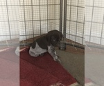 AKC German Shorthaired Pointer pups