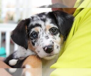 Australian Shepherd Puppy for sale in PITTSBURGH, PA, USA