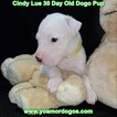 Small Photo #52 Dogo Argentino Puppy For Sale in PINEVILLE, MO, USA