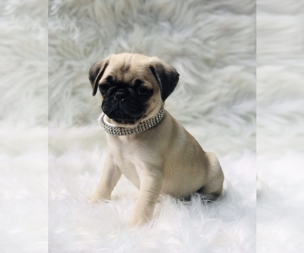 Medium Photo #5 Pug Puppy For Sale in CANTON, CT, USA