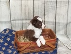 Border Collie Puppy For Sale in ONTARIO, OH, USA