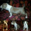 American Bully Puppy For Sale in PHOENIX, AZ, USA