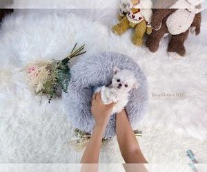 Maltese Puppy for Sale in ASTORIA, New York USA