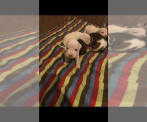 Boxer Puppy for sale in LYNN, MA, USA