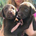 Labrador Retriever Puppy For Sale in GREENWOOD, DE, USA