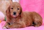 Goldendoodle (Miniature) Puppy For Sale in MOUNT JOY, PA, USA