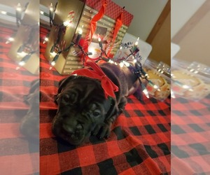 Cane Corso Dog for Adoption in BATTLEMENT MESA, Colorado USA