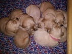 Golden Retriever Puppy For Sale in MIDDLEBURG, VA, USA