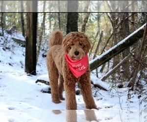 Goldendoodle Puppy for Sale in FALKVILLE, Alabama USA