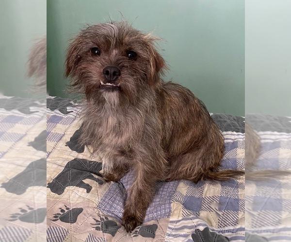 Medium Photo #1 ShiChi Puppy For Sale in MAHWAH, NJ, USA