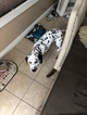 Pure Breed Dalmatian 5 months Male