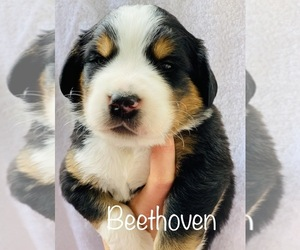 Greater Swiss Mountain Dog Puppy for sale in KERRVILLE, TX, USA