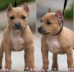 American Bully Puppy For Sale in RIVERSIDE, CA, USA
