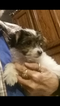 Yorkshire Terrier Puppy For Sale in HILLSBORO, TX, USA