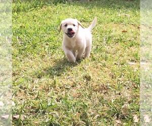 Labrador Retriever Puppy for sale in ST PETERSBURG, FL, USA