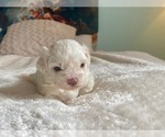 Puppy 1 ShihPoo-Zuchon Mix