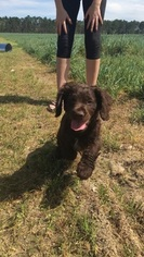 Boykin Spaniel Puppy For Sale in TIFTON, GA