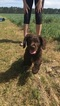Boykin Spaniel Puppy For Sale in TIFTON, GA