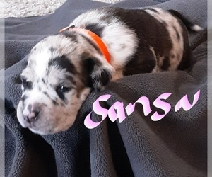 American Staffordshire Terrier-Catahoula Leopard Dog Mix Puppy for Sale in JACKSONVILLE, North Carolina USA