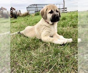 Anatolian Shepherd Puppy For Sale in ROBSTOWN, TX, USA