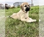 Puppy 0 Anatolian Shepherd