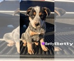 Small #1 Australian Cattle Dog