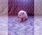 Small #19 Pomeranian