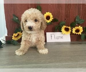 Bichpoo Puppy for Sale in BONDUEL, Wisconsin USA