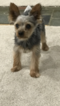 Yorkshire Terrier Puppy For Sale in WATERBURY, CT, USA