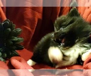 Pomsky Dog for Adoption in EUFAULA, Oklahoma USA
