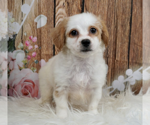 Cavachon Puppy for Sale in WARSAW, Indiana USA