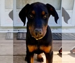 Small #33 Doberman Pinscher