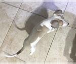 Small #15 Italian Greyhound