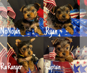 Yorkshire Terrier Puppy for Sale in ALVARADO, Texas USA