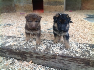 German Shepherd Dog Puppy For Sale in WILLIAMS, OR