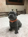 Puppy 9 French Bulldog