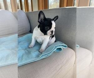 French Bulldog Puppy for Sale in MOSIER, Oregon USA