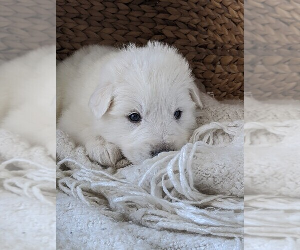 Medium Photo #40 Great Pyrenees Puppy For Sale in FALCON, CO, USA