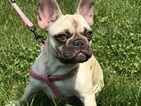 French Bulldog Puppy For Sale in FISHERS, IN