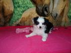 Miniature Australian Shepherd Puppy For Sale in BONNERDALE, AR, USA