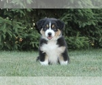 Small Photo #2 Australian Shepherd Puppy For Sale in CARMEL, IN, USA