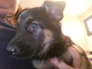 German Shepherd Dog Puppy For Sale in BRECKENRIDGE HILLS, MO, USA