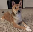 Shiba Inu Puppy For Sale in SAN MATEO, CA