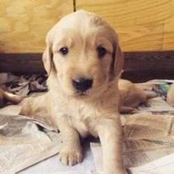 Golden Retriever Puppy For Sale in SAN ANTONIO, TX
