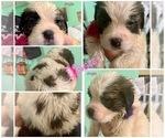 Puppy 0 Saint Bernard