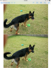 German Shepherd Dog Puppy for sale in PEARLAND, TX, USA