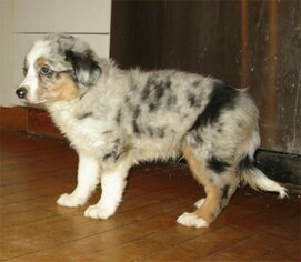 Miniature Australian Shepherd Puppy for sale in CAMPBELL, MN, USA